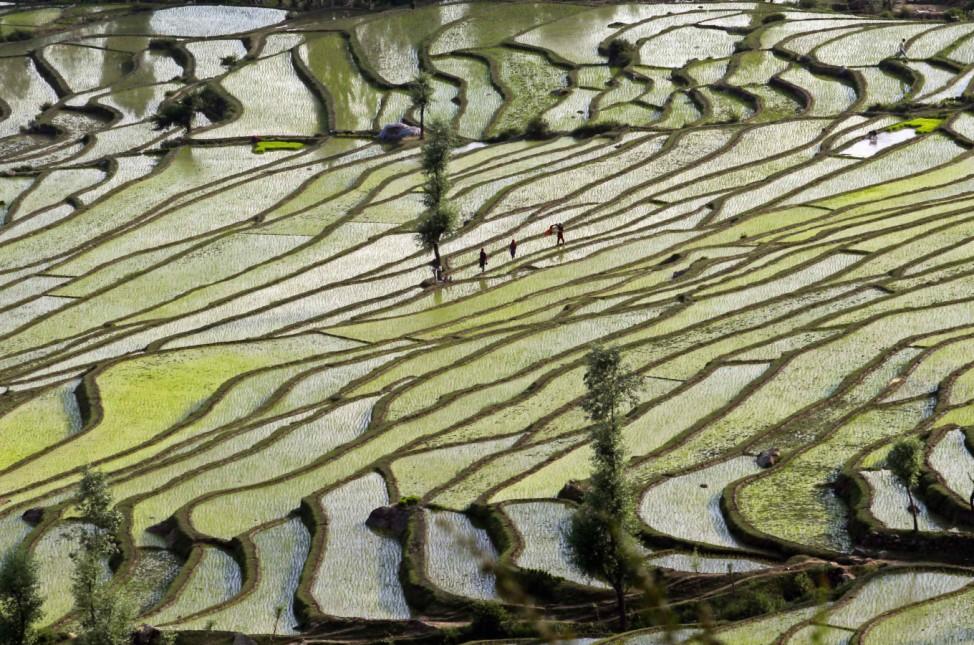 Kashmiri farmers walk through rice fields in Bandipora