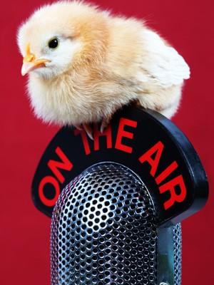 Küken auf dem Mikrofon