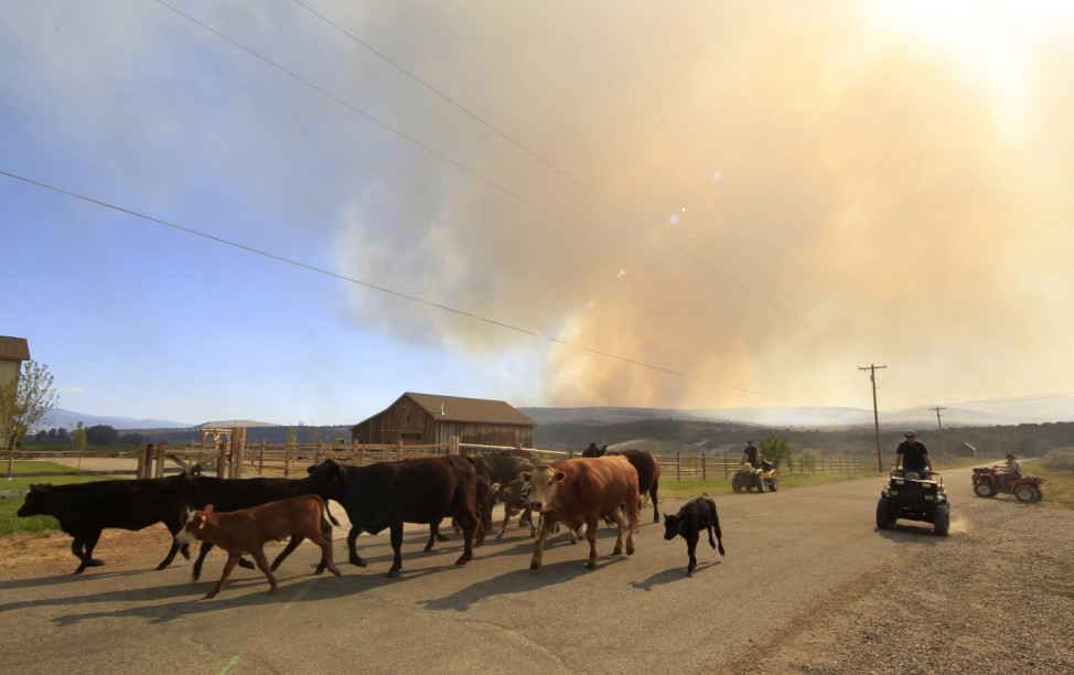 Ranchers herd cattle through town to a new location after fire officials ordered the evacuation of Fairview, Utah as the Wood Hollow fire approaches the town