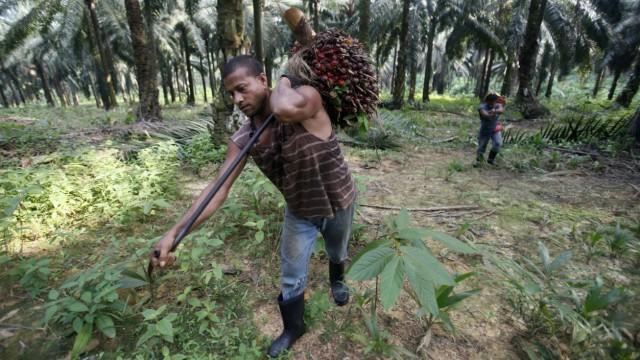 Workers collect oil palm fruits at Felda Sungai Tengi Selatan plantation in Sungai Tengi