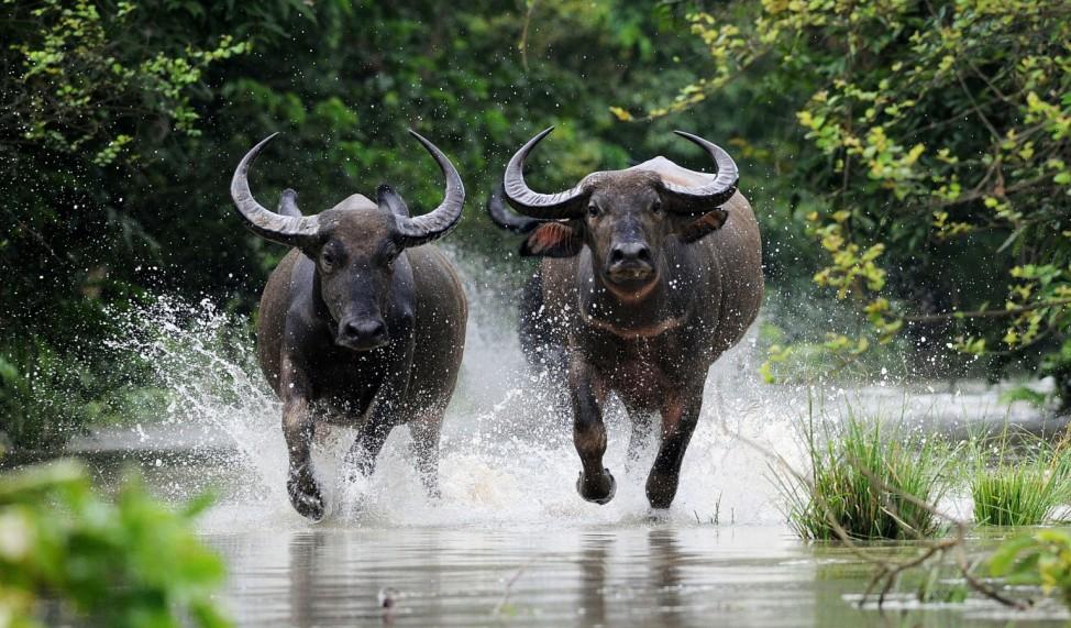 Wild Asiatic Water buffalos run to take shelter
