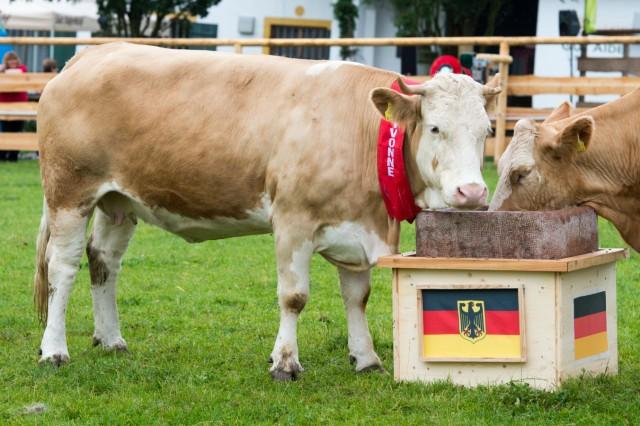 Kuh Yvonne tippt EM-Aus für Deutschland