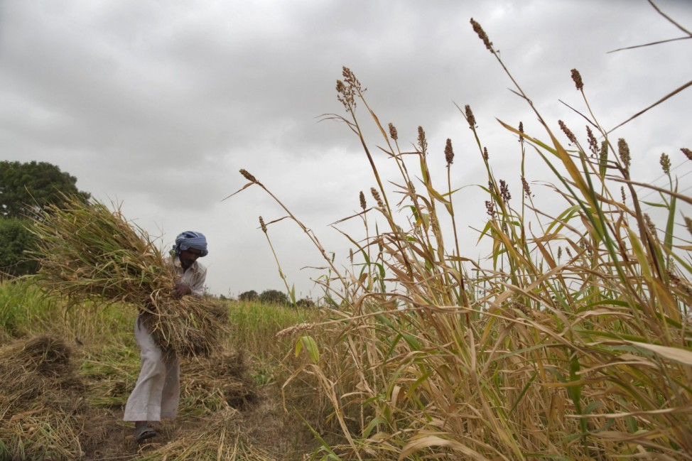 A farmer harvests partially damaged crop due to lack of rain at Sami village in Gujarat