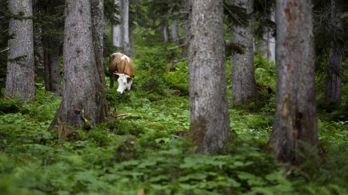 Trump und Österreich: Die Waldmenschen antworten