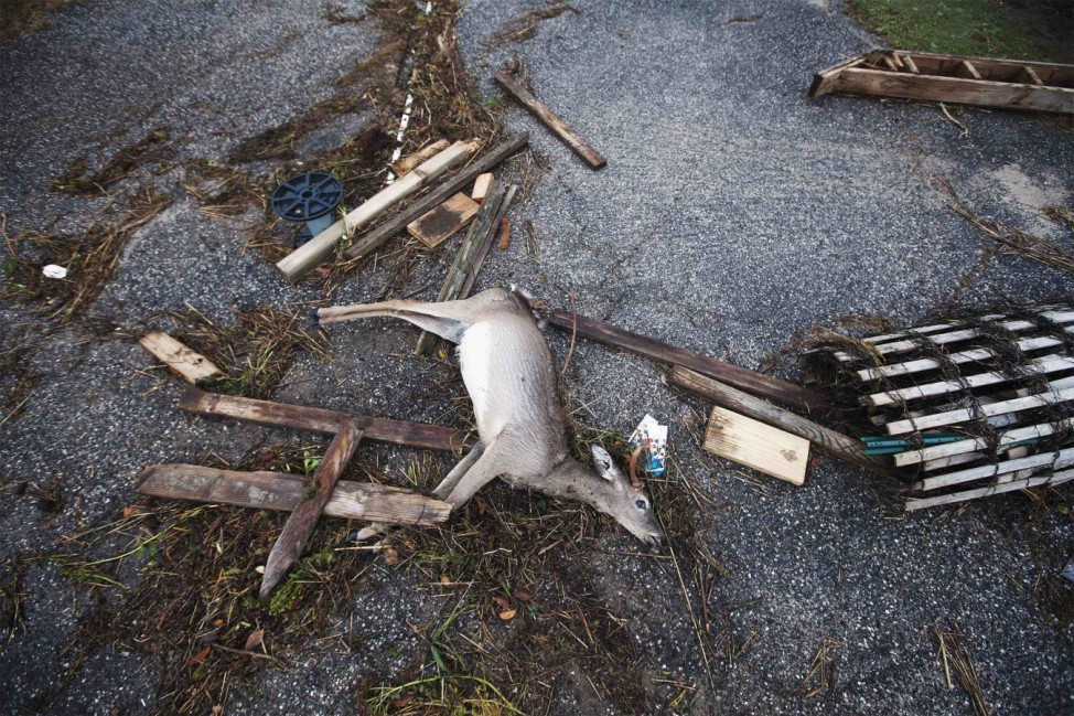 A dead deer is pictured with debris left by storm surge from Hurricane Sandy and high tide in Southampton