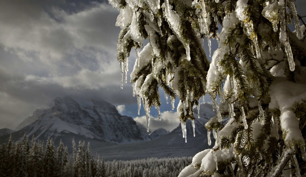 Icicles form on a tree as the afternoon sun melts the snow in Banff National Park near Lake Louise