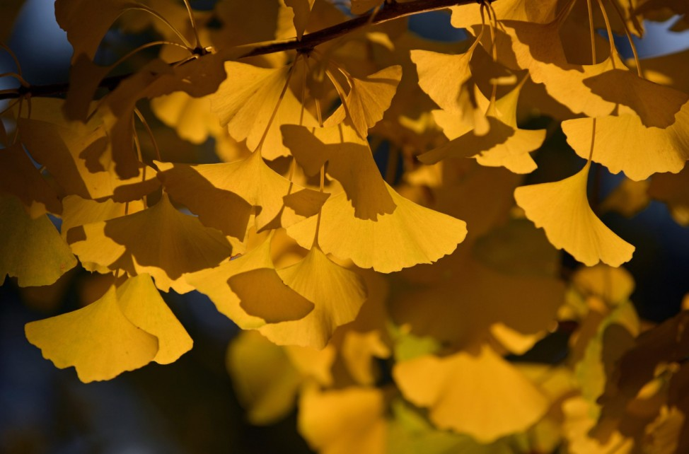 Gingko trees displaying their autumnal colors
