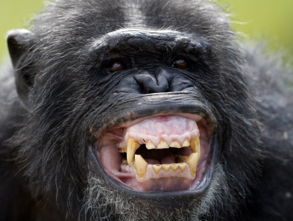 Bonobo reacts during feeding time at Twycross Zoo