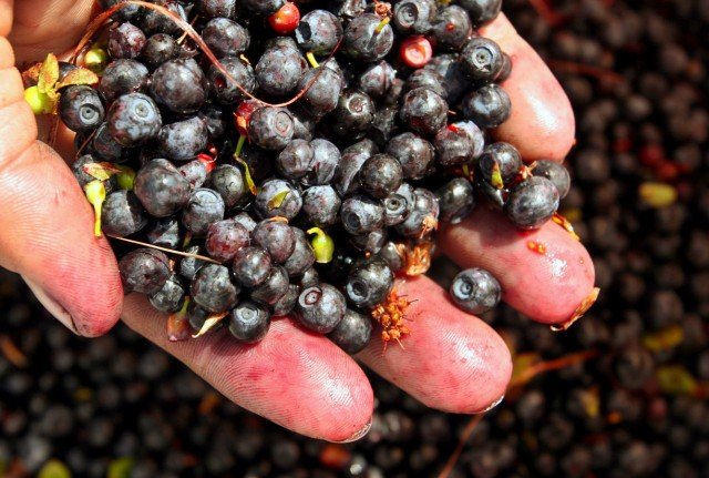 Blaubeeren Blueberrys