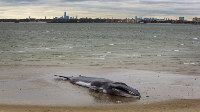 gestrandeter Finnwal in New York ist tot