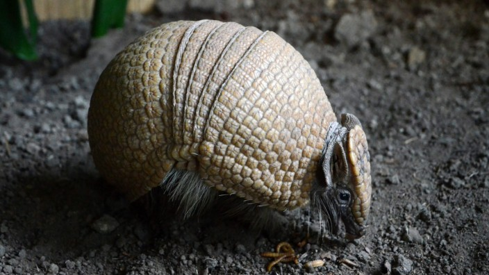 An eight-month old southern three-banded armadillo is seen in its