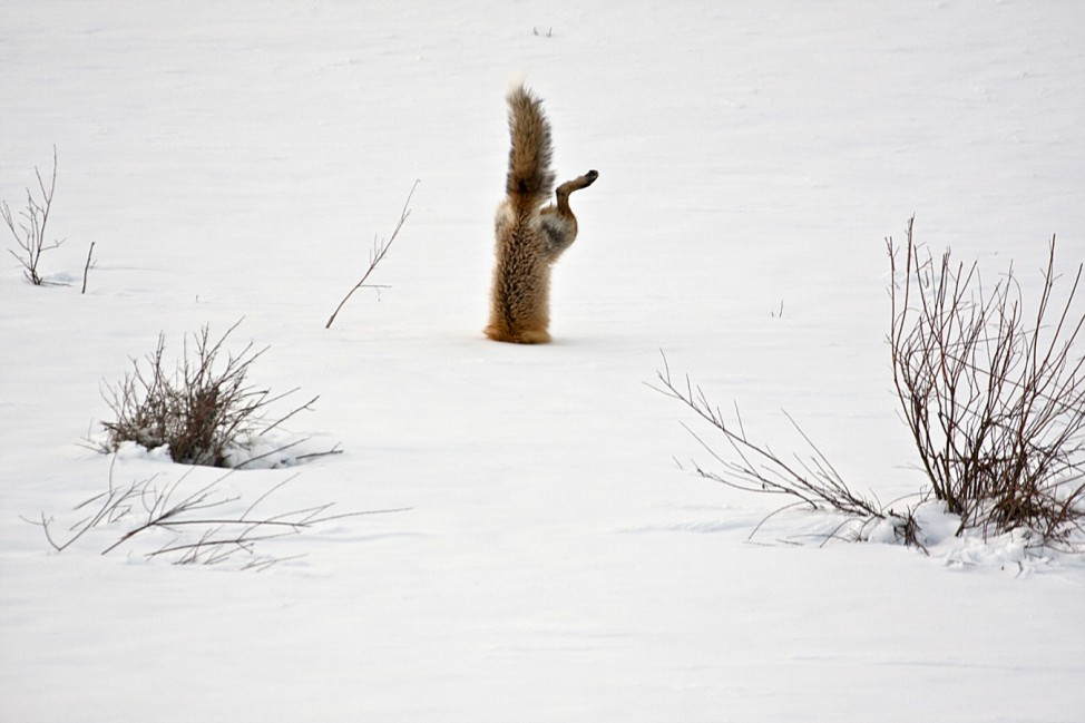 National Geographic Photo Contest 2012 - Red Fox catching mouse under snow