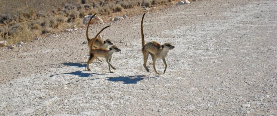 Eine Gruppe von Erdmännchen überquert die Straße. Es sind rangtiefe Tiere, die prüfen, ob Gefahr droht.