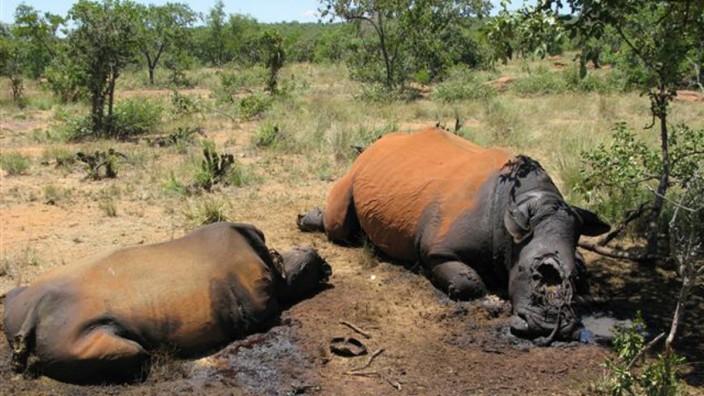 Nashorn-Wilderei Wilderer Südafrika Nashorn
