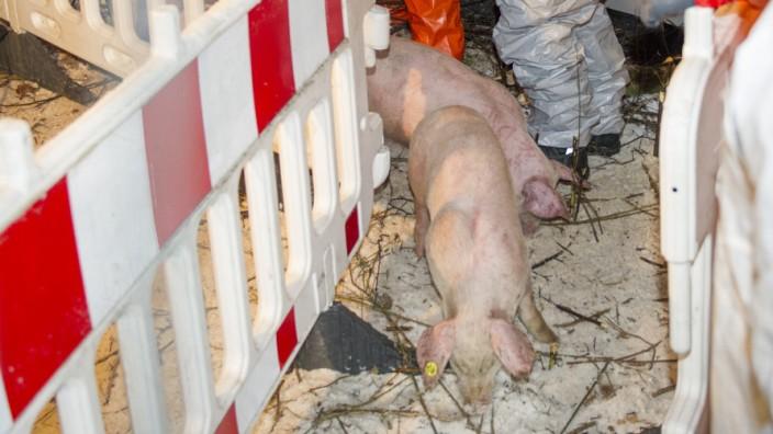 Schweinelaster verunglückt
