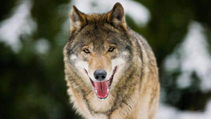 NABU - Tötung von Wölfen streng ahnden