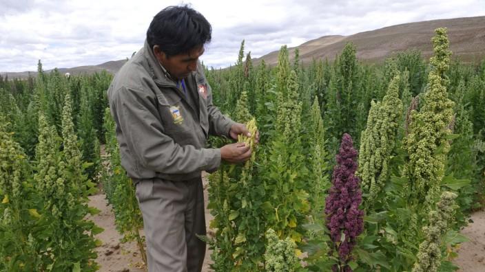 Bolivien und UN setzen auf Quinoa-Pflanze: Große Aufgabe für eine unscheinbare Pflanze: Quinoa, hier auf einem Feld in Bolivien.