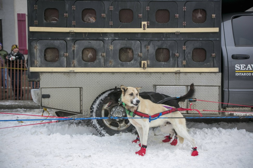 A dog team are seen before the line up to race during the ceremonial start to the Iditarod dog sled race in downtown Anchorage, Alaska