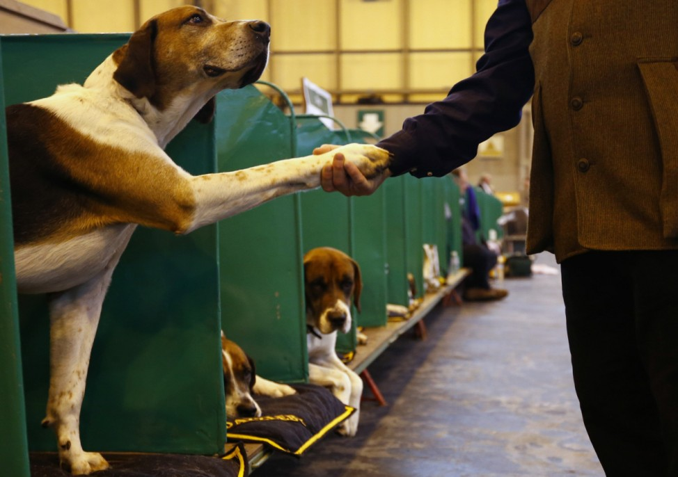A man shakes the paw of a Foxhound during the first day of the Crufts Dog Show in Birmingham