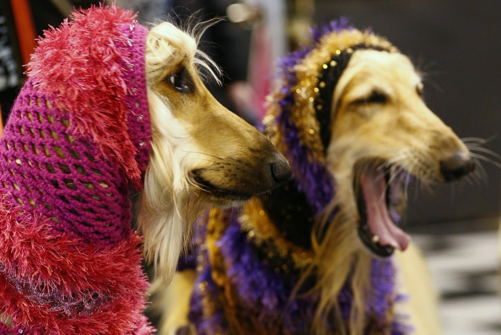 Afghan Hounds wear hoods during the first day of the Crufts Dog Show in Birmingham, central England