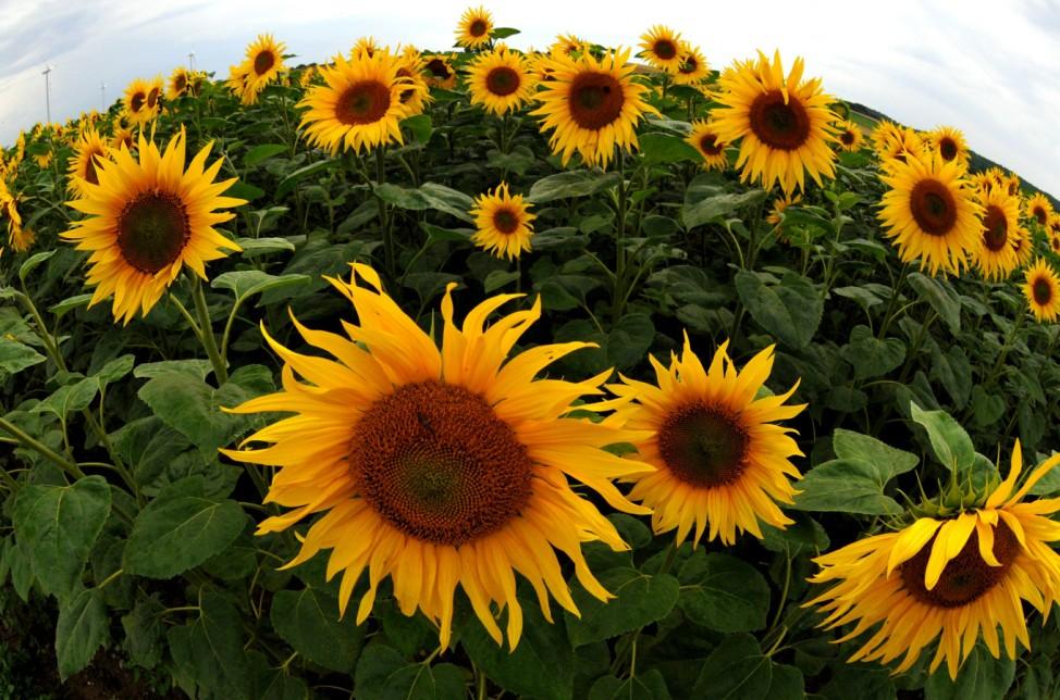 AUSTRIA-FLOWER-SUNFLOWER