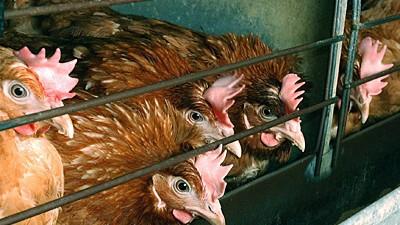 Legebatterien: Die Tierquälerei dauert an - trotz Verbots: Hühner in Legebatterien.