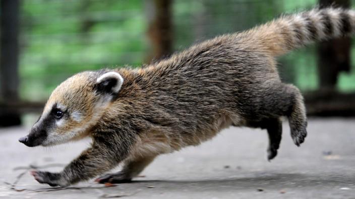 Nasenbär-Nachwuchs im Zoo Hannover