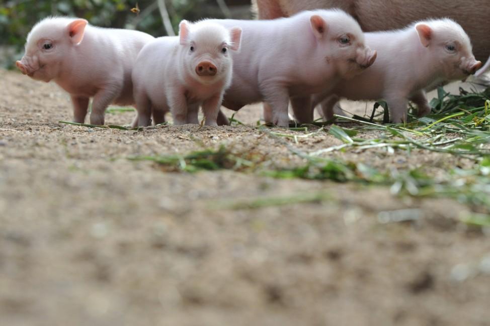 Niedersachsens Tiere 2011 - Minischweine im Zoo Hannover
