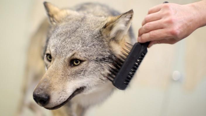 Westerwälder Wolf Teil einer Sonderausstellung