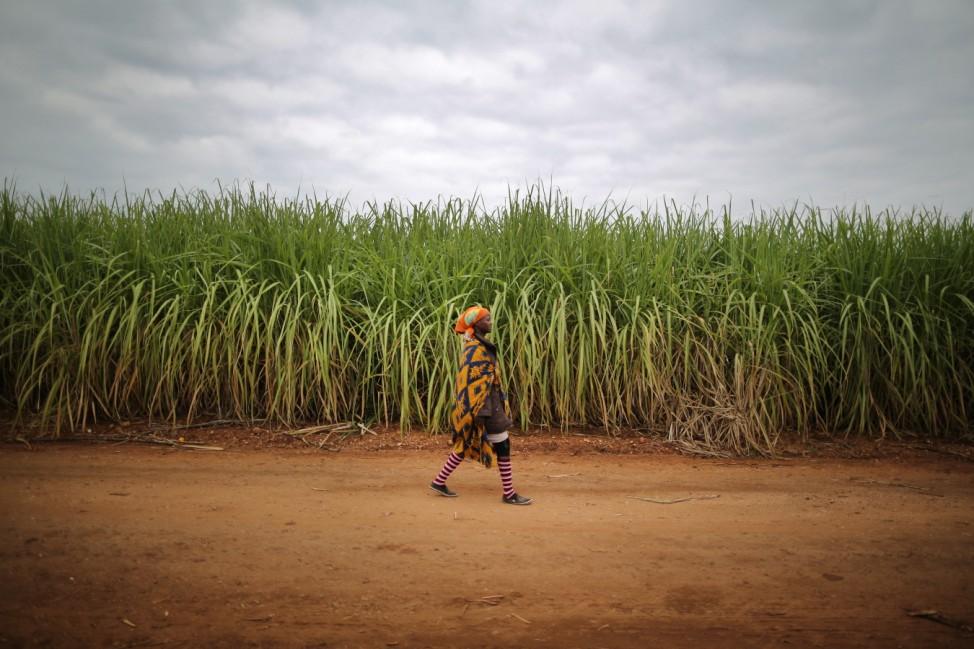 Workers Harvest Sugar Cane