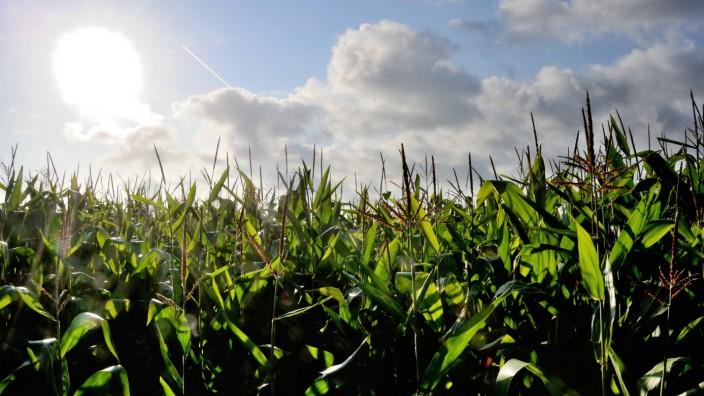 Monsanto Gen Mais Mon 810
