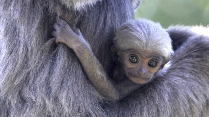 Silbergibbon-Baby  im Tierpark Hellabrunn