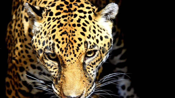 A female jaguar looks from its cage at a zoo in San Ana