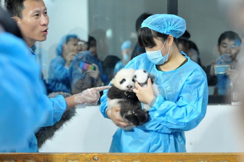 14 Panda Cubs Meet The Public In Chengdu