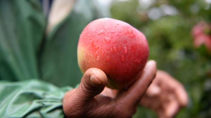 Apfelernte hat begonnen