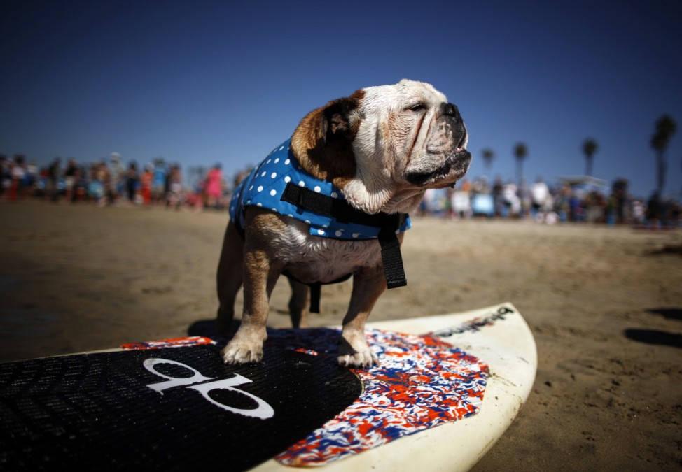 A dog prepares to compete in the Surf City surf dog competition in Huntington Beach