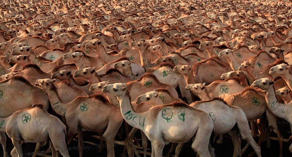 Camels walk before being exported to Middle East countries, at the loading zone at the sea port in Somalia's capital Mogadishu