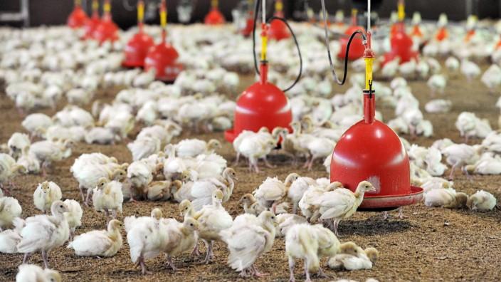 Geflügelhaltung - Putenzucht