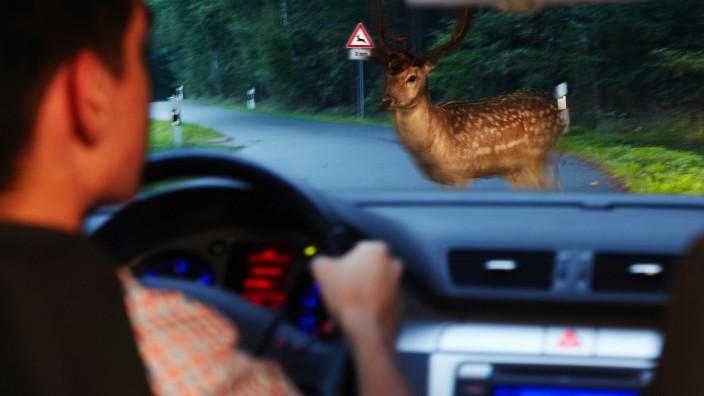 Hirsch, Wildschwein, Wildunfall, Bambi