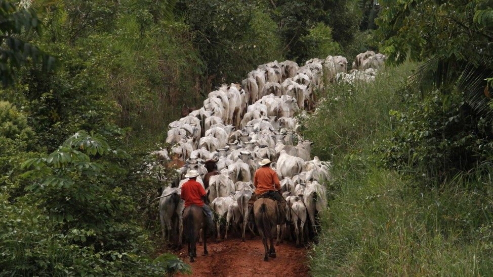 Herders drive cattle, which were raised on pasture grown on an area of deforested Amazon rainforest, near the city of Uruara