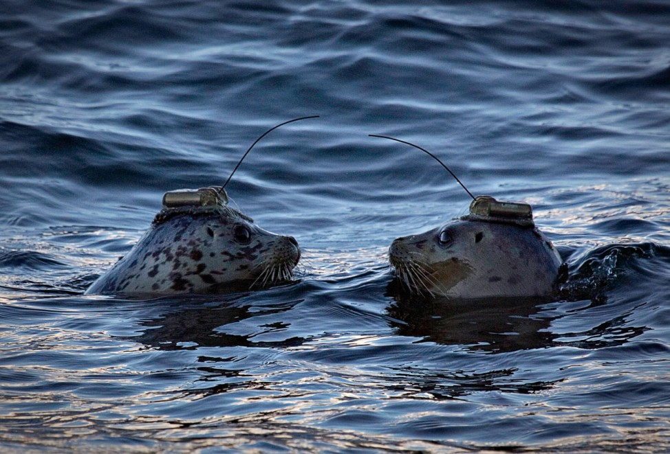 A pair of harbour seals wearing satellite linked transmitters face each after being released into the waters of Howe Sound in Porteau Cove
