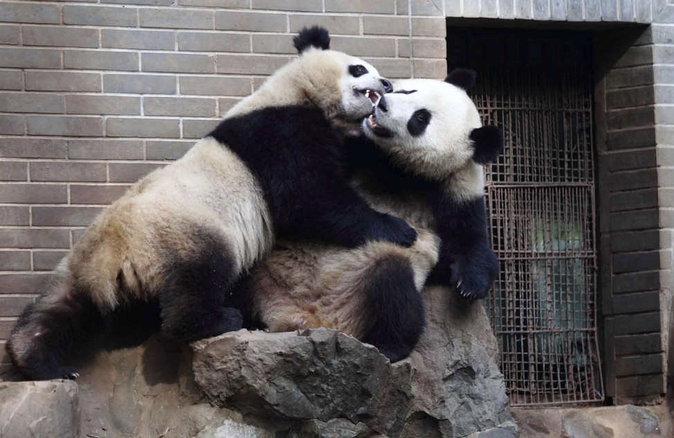 Two-year-old giant panda twins play inside a zoo in Hangzhou