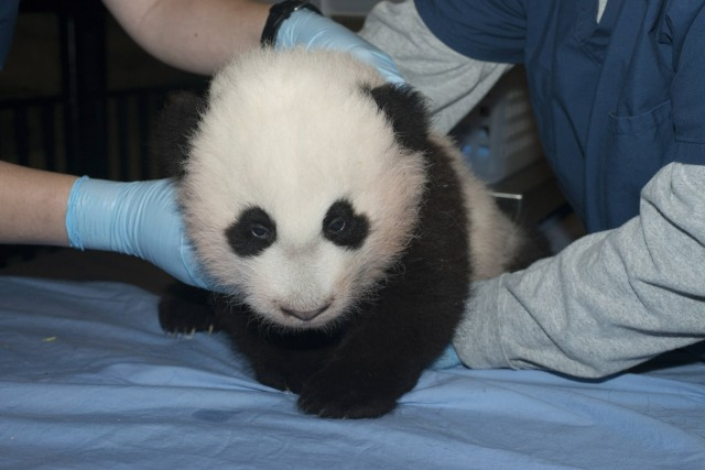 Handout picture of newest baby panda born at the Smithsonian's National Zoo in Washington