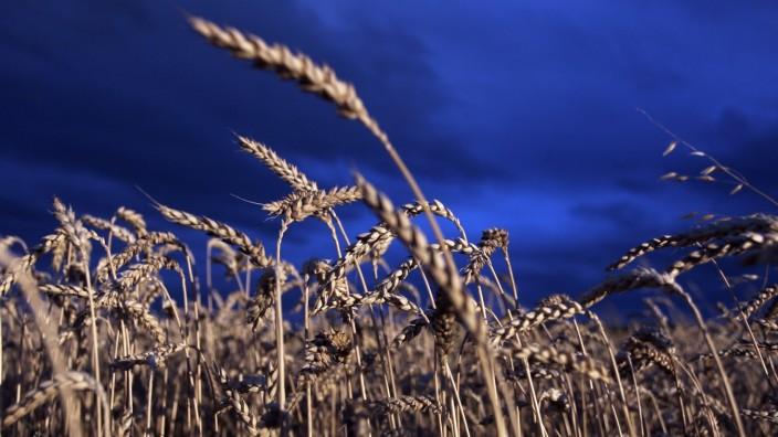 GROEBENZELL: Getreidefeld WEIZEN / dramatische Abendstimmung