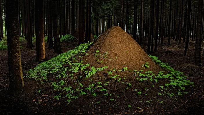 Wolkenkratzer: Im Vergleich zu ihrer Körpergröße errichten Rote Waldameisen gigantische Bauten.