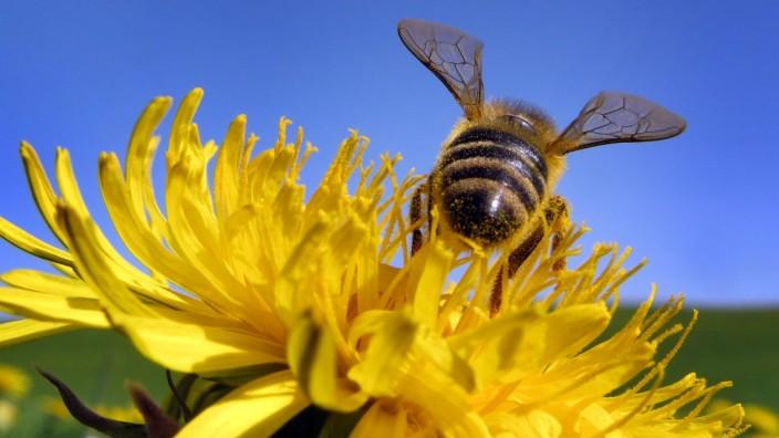Biene bei der 'Arbeit'