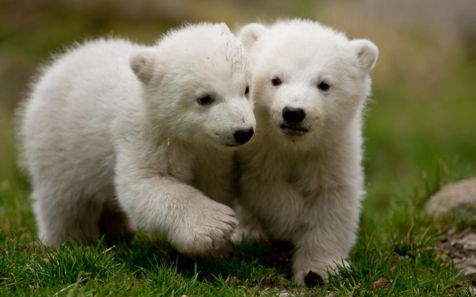 Eisbärenzwillinge Hellabrunn