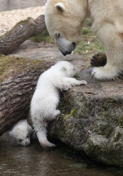 Munich Zoo Presents Twin Polar Bear Cubs