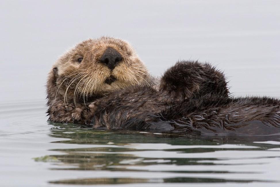 Seeotter, Exxon Valdez