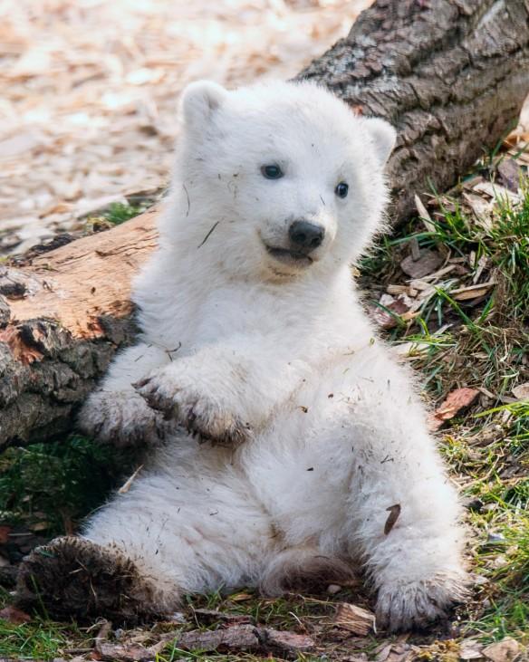 Eines der beiden 14 Wochen alten Eisbären-Zwillinge genießt am 22.03.2014 in München die Sonnenstrahlen im Freigehege im Tierpark Hellabrunn.